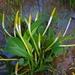 Orontium aquaticum - Photo (c) Marty, algunos derechos reservados (CC BY-NC-ND)