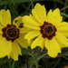 Coreopsis and Allies - Photo (c) Pete Romfh, some rights reserved (CC BY-NC-SA)