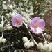 Malacothamnus fremontii - Photo (c) Donna Pomeroy, algunos derechos reservados (CC BY-NC)