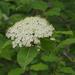 Viburnum prunifolium - Photo ללא זכויות יוצרים