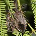 Pachylis argentinus - Photo (c) Roberto Guller, algunos derechos reservados (CC BY-NC-ND)