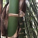 Bambú Guadua - Photo (c) maryannrobledo, algunos derechos reservados (CC BY-NC)