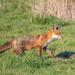 Zorro Rojo - Photo (c) Andy Gooden, algunos derechos reservados (CC BY-NC)