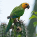 Brown-throated Parakeet - Photo (c) Chris Harrison, some rights reserved (CC BY-NC)