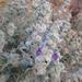 Salvia funerea - Photo (c) Suzie Woolhouse, algunos derechos reservados (CC BY-NC)