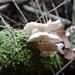 Marasmiellus alliiodorus - Photo (c) Cristian Riquelme, osa oikeuksista pidätetään (CC BY)