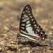 Graphium doson - Photo (c) Les Day, algunos derechos reservados (CC BY-NC)
