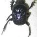 Scarabaeus bohemani - Photo (c) Botswanabugs, algunos derechos reservados (CC BY-NC)
