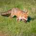 European Red Fox - Photo (c) Andy Gooden, some rights reserved (CC BY-NC)