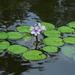 Pontederia diversifolia - Photo (c) Nelson Wisnik, some rights reserved (CC BY-NC)