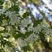Luzuriaga polyphylla - Photo (c) Leonardo Tempesta, μερικά δικαιώματα διατηρούνται (CC BY-NC)
