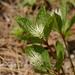Chloranthus fortunei - Photo (c) Kim, Hyun-tae, algunos derechos reservados (CC BY)