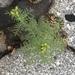 Descurainia sophia - Photo (c) Susan J. Hewitt, algunos derechos reservados (CC BY-NC)