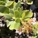 Arctostaphylos tomentosa bracteosa - Photo (c) Morgan Stickrod, alguns direitos reservados (CC BY-NC)