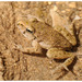 Iberian Parsley Frog - Photo (c) moroccoherps, some rights reserved (CC BY-NC-SA), uploaded by moroccoherps