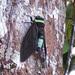 Tacua speciosa - Photo (c) CheongWeei Gan, algunos derechos reservados (CC BY-NC)