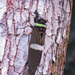 Tosena fasciata - Photo (c) CheongWeei Gan, algunos derechos reservados (CC BY-NC)