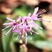 Heloniopsis orientalis - Photo (c) TANAKA Juuyoh (田中十洋), algunos derechos reservados (CC BY)