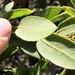 Arctostaphylos tomentosa hebeclada - Photo (c) Morgan Stickrod, algunos derechos reservados (CC BY-NC)