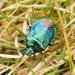 Zicrona caerulea - Photo (c) Jakob Fahr, algunos derechos reservados (CC BY-NC)