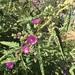 Sphaeralcea angustifolia - Photo (c) charley, μερικά δικαιώματα διατηρούνται (CC BY-NC)