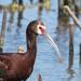 Ibis Ojos Rojos - Photo (c) Greg Lasley, algunos derechos reservados (CC BY-NC)
