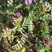Astragalus iodanthus - Photo (c) biosam, alguns direitos reservados (CC BY-NC), uploaded by Sam McNally