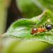 Lasiophanes - Photo (c) pedro vargas, algunos derechos reservados (CC BY-NC)