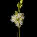 Trichopetalum plumosum - Photo (c) pedro vargas,  זכויות יוצרים חלקיות (CC BY-NC)
