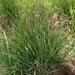 Carex nigra juncella - Photo (c) Sergey Mayorov, algunos derechos reservados (CC BY-NC)