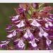 Orchis purpurea - Photo (c) Anne SORBES,  זכויות יוצרים חלקיות (CC BY-NC-SA)