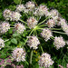 Angelica arguta - Photo (c) Jason Sturner,  זכויות יוצרים חלקיות (CC BY)
