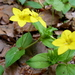 Yellow Pimpernel - Photo (c) Andrew Hill, some rights reserved (CC BY-ND)