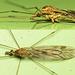 Tipula rufina - Photo (c) Martin Cooper,  זכויות יוצרים חלקיות (CC BY)