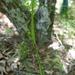 Scleria oligantha - Photo (c) botanygirl, algunos derechos reservados (CC BY), uploaded by botanygirl