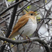 Veery - Photo (c) JoAnne-Russo, some rights reserved (CC BY-NC)