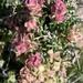 Grayia spinosa - Photo (c) Corey Lange, algunos derechos reservados (CC BY-NC)