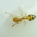 Pharaoh Ant - Photo (c) Kutushev Radik, some rights reserved (CC BY-NC)