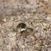 Platnickina tincta - Photo (c) Donald Hobern, some rights reserved (CC BY)