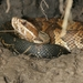 Florida Cottonmouth - Photo (c) Cyricc, some rights reserved (CC BY-NC-SA)