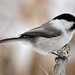 Willow Tit - Photo (c) Evgeny Boginsky, some rights reserved (CC BY-NC)