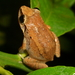 Eleutherodactylus johnstonei - Photo (c) Mark Stevens, μερικά δικαιώματα διατηρούνται (CC BY-NC-SA)