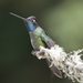 Talamanca Hummingbird - Photo (c) Soheil Zendeh, some rights reserved (CC BY-NC-SA)