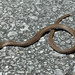 Rough Earthsnake - Photo (c) Zack, some rights reserved (CC BY-NC-SA)