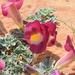 Harpagophytum - Photo (c) copper, alguns direitos reservados (CC BY-NC)