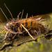 Ophiocordyceps humbertii - Photo (c) pedro vargas, alguns direitos reservados (CC BY-NC)