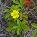 Common Cinquefoil - Photo (c) Charles Wohlers, some rights reserved (CC BY-NC-ND)