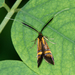 Nemophora scopolii - Photo (c) salvatore_infanti,  זכויות יוצרים חלקיות (CC BY-NC)