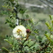 Roundflower Catclaw - Photo (c) Zona Sujeta a Conservación Ecológica Sierra de Zapalinamé, some rights reserved (CC BY-NC)