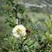 Senegalia roemeriana - Photo (c) Zona Sujeta a Conservación Ecológica Sierra de Zapalinamé, alguns direitos reservados (CC BY-NC)